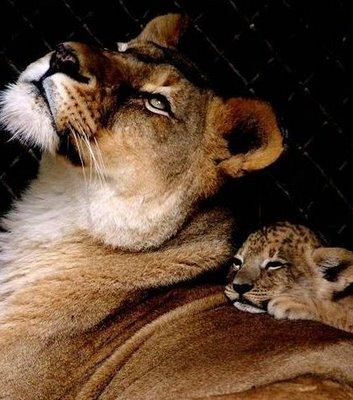 mama lion baby