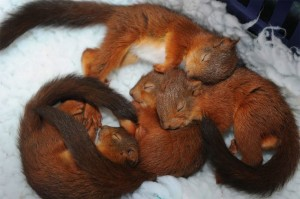 Baby Squirrels asleep basket