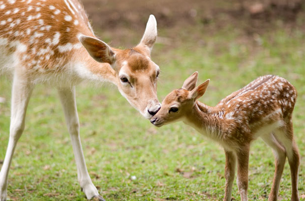 Deer mother and baby